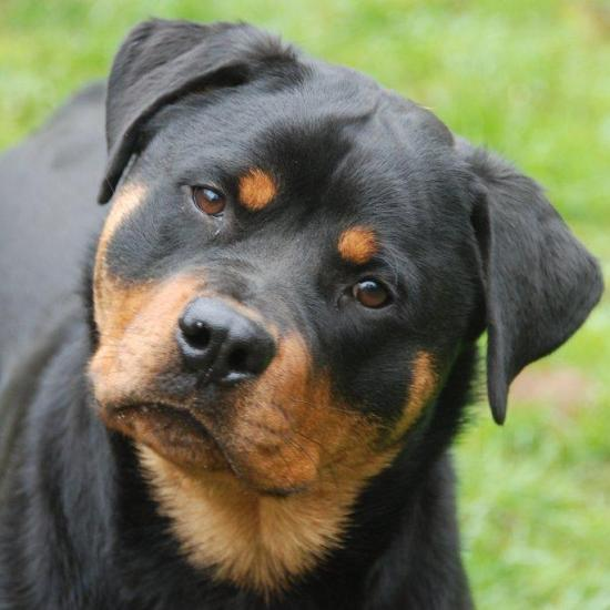 Adult Rottweilers For Sale 19