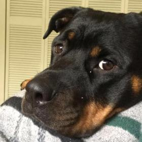 Washington Rescue Rottweilers